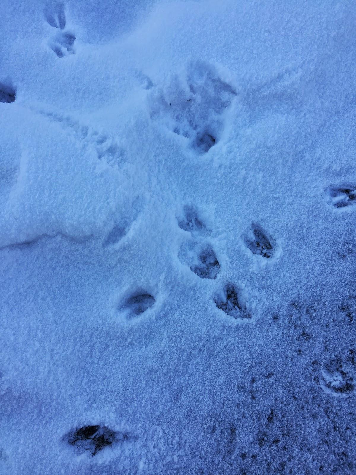 deer tracks in snow, deer, Virginia, animals