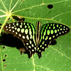Green-spotted Triangle