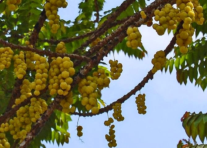 Tumbuhan Ceremai (Phyllanthus acidus)