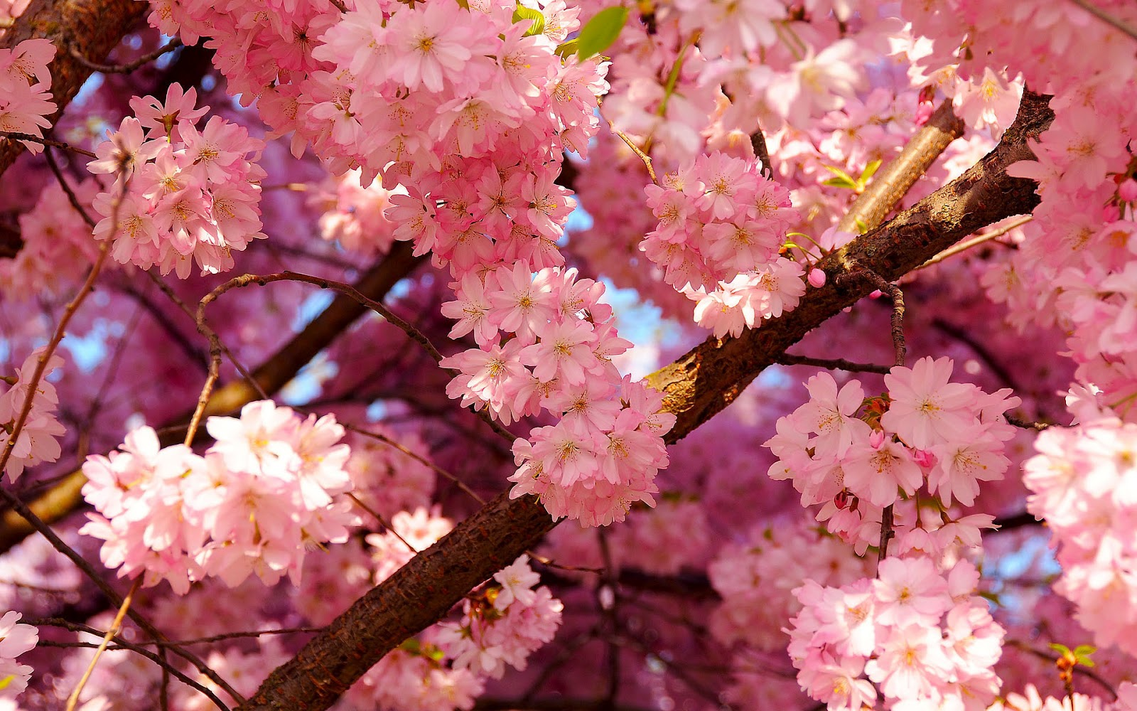 Flowers nature blooming trees branches pink flowers wallpaper nature blooming trees branches pink flowers wallpaper mightylinksfo