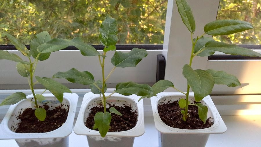 Фикус из семян в домашних условиях 91