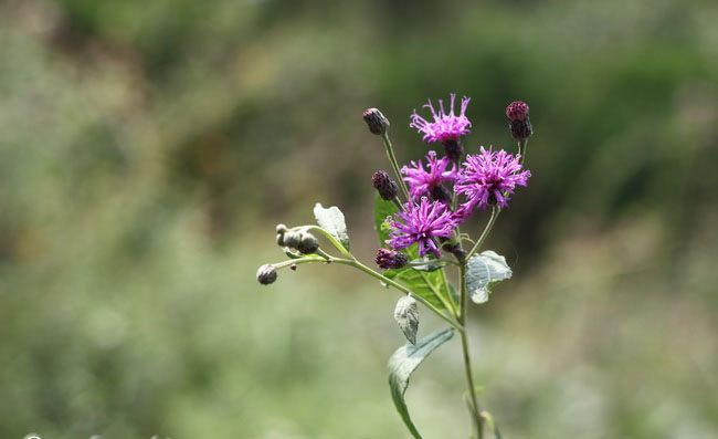 Ironweed Flowers Pictures