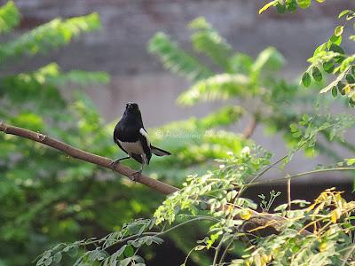 Oriental Magpie Robin..