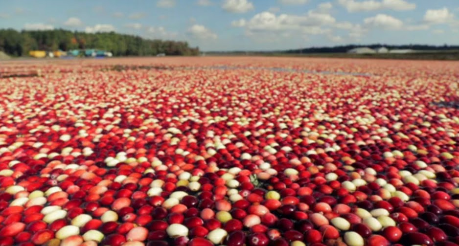 How Do Cranberries Grow Myideasbedroom Com