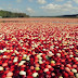 How Do Cranberries Grow?