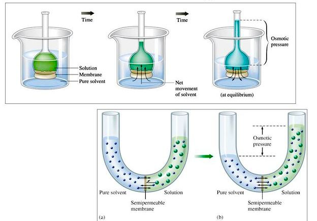 osmotic potential of onion This is to find the equivalent osmotic potential [image] prediction: osmosis is the movement of water particles from a high concentration to a low concentration through a partially permeable membrane.