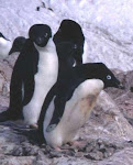 Zeppi is a member of The IPCWG - Penguins of the World