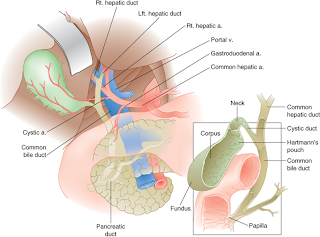 Human skeleton bbc bitesize ultrasound of gallbladder ultrasonic anatomy located inferior to rt lobe of liver ccuart Gallery