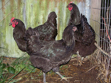 Breeding pullets