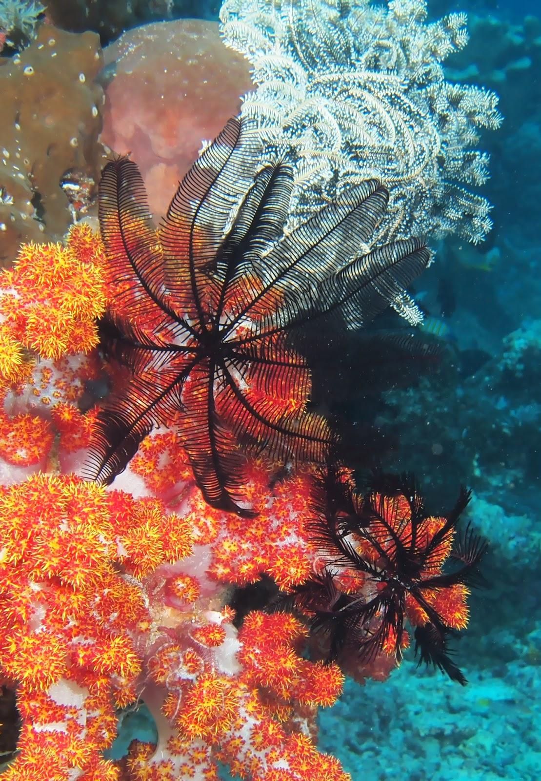 Морские лили на мягком коралле фото