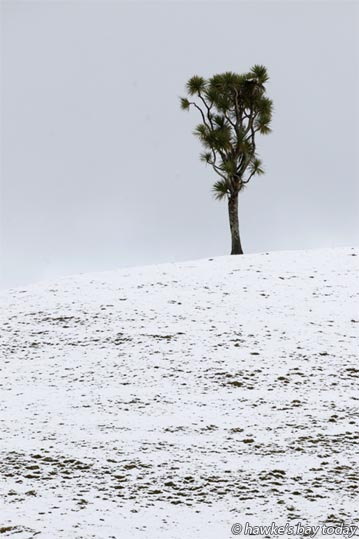Cabbage tree in the snow near Glenross Rd, Waiwhare, off the Napier-Taihape Rd. photograph