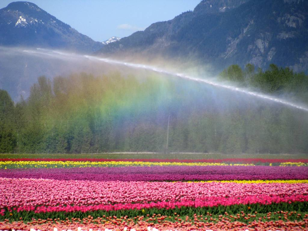 field of tulips being watered rainbow