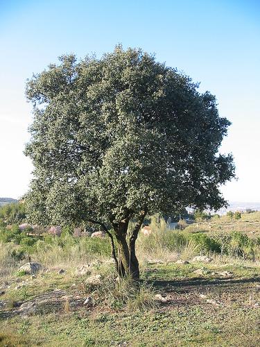 Pianta di leccio for Quercia sempreverde