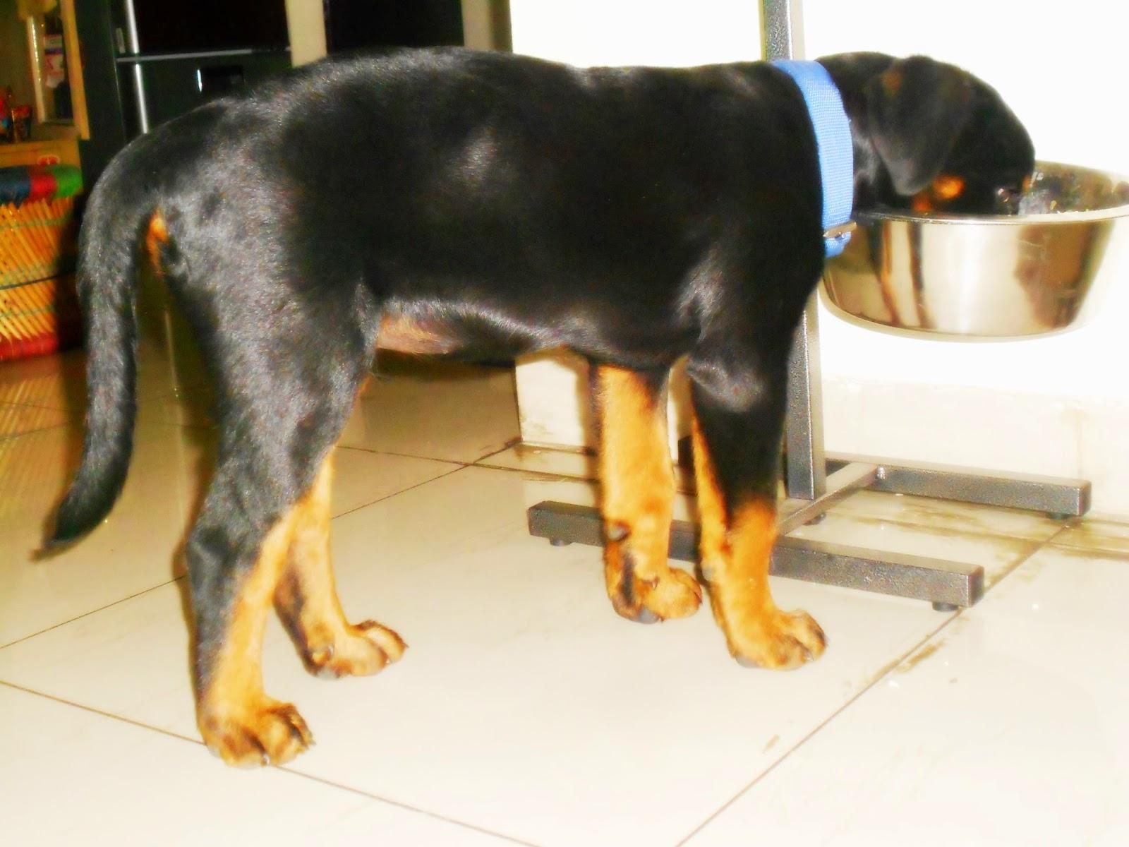 Leo The Rottweiler 3 Months Old Rottweiler Puppy Day 92