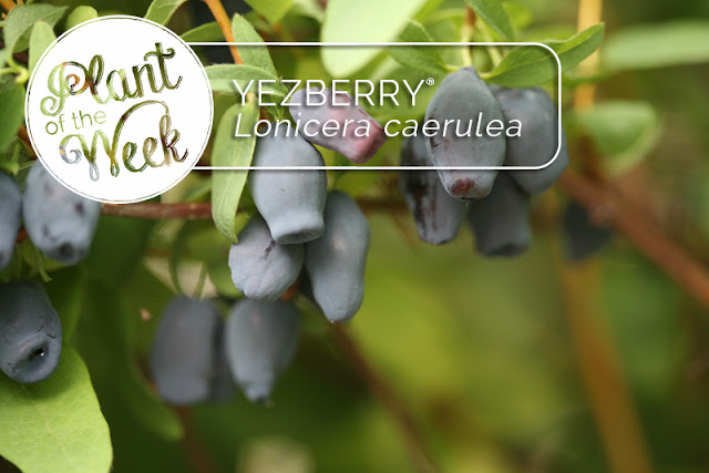 Plant of the Week: Yezberry Japanese haskap