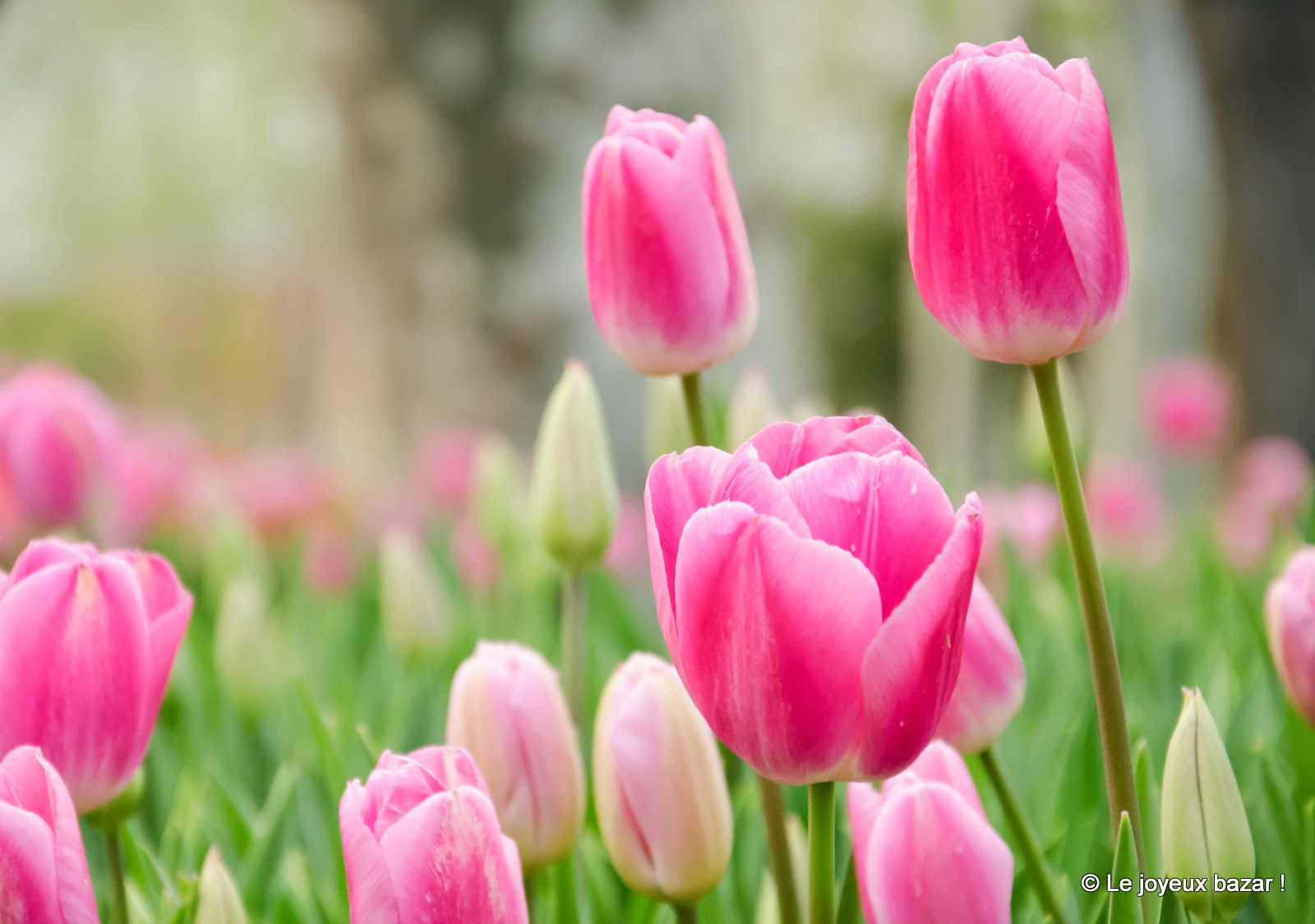 Istanbul - Parc de Gülhane - tulipes