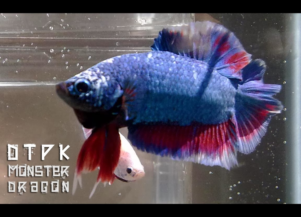 Ganzo games extended pc games rm5 betta fish dtpk for Betta fish game