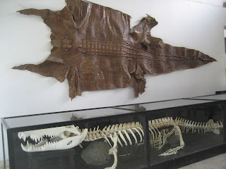 Palawan's largest crocodile in the museum