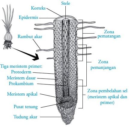 Struktur dan fungsi akar pada tumbuhan gambar zona pertumbuhan akar dan struktur akar ccuart Images