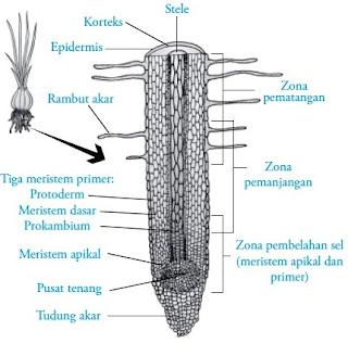 Zona pertumbuhan akar dan struktur akar