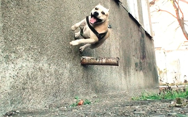 TreT Staffordshire Bull, Extraordinary Animals, Wall Jumping, Amazing Stunts, Railing Over, Smart Dogs, Real Stories, Unbelievable Facts, Amazing Skills, Internet Sensation Weird Stuffs Russian Dog, Ukraine, Amazing Video, Believe It Or Not