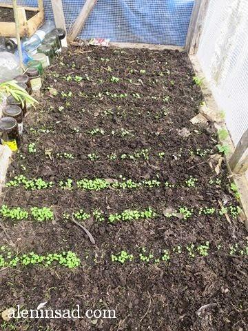 руккола, рукола, всходы, теплица, теплице, аленин сад, ранний посев, редис
