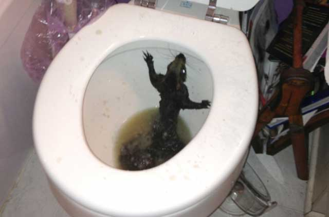 Nothing To Do With Arbroath: Squirrel popped out of woman\'s toilet