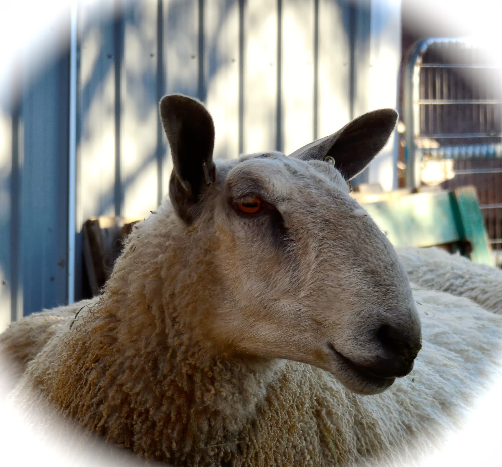 A Tumble Creek Farm Ewe