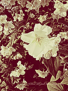 """Philadelphus coronarius* (sweet mock-orange, English dogwood) is a species of flowering plant in the family Hydrangaceae, native to Southern Europe. It is a deciduous shrub growing to 3 m (10 ft) tall by 2.5 m (8 ft) wide, with toothed leaves and bowl-shaped white flowers with prominent stamens. In the species the blooms are abundant and very fragrant, but less so in the cultivars. Philadelphus coronarius The specific epithet coronarius means ""used for garlands"". *More to read on : Wikipedia"