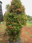 oliana sigium (pucuk merah)