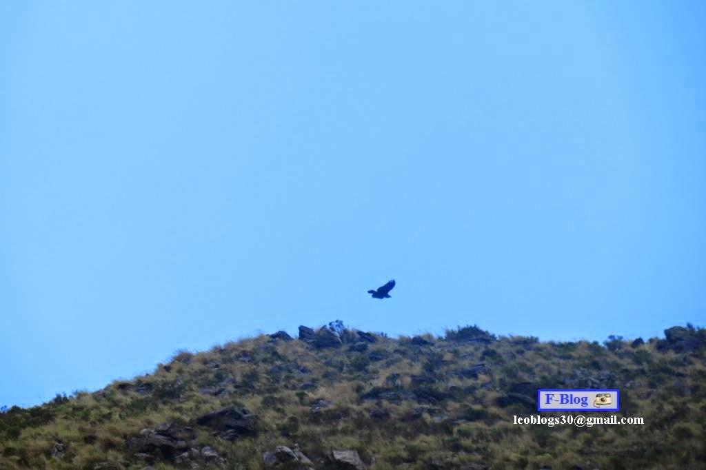 Condor sobrevolando las sierras de Merlo, San Luis