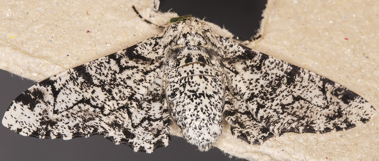 Peppered Moth, Biston betularia.  Geometridae.   Crowborough, July 2014.