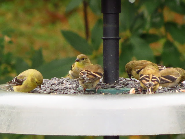 american goldfinches up close