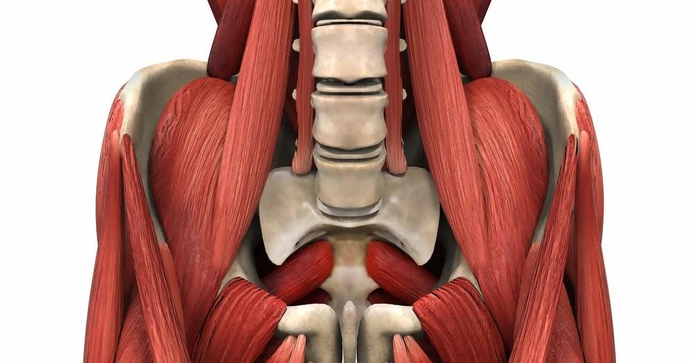 Excepcional Coloración Muscular Páginas Anatomía Colección - Páginas ...