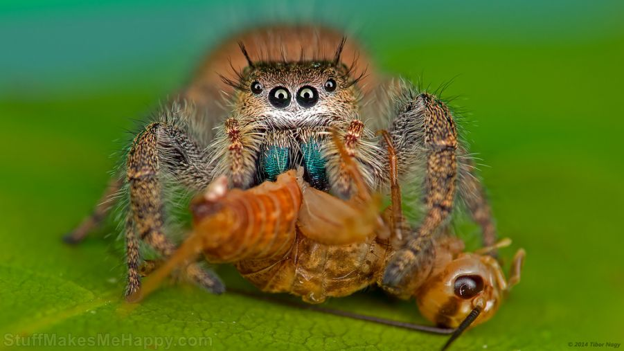 A jumping spider eating a cricket