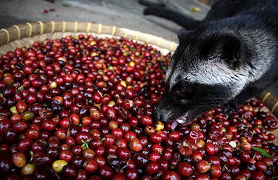 The Presurfer: The Science Behind Luwak Coffee