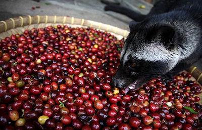 The Presurfer: The Science Behind Luwak Coffee