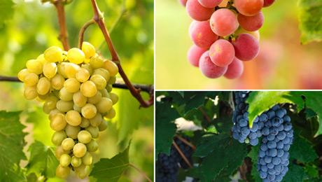 σταφύλια κρασί