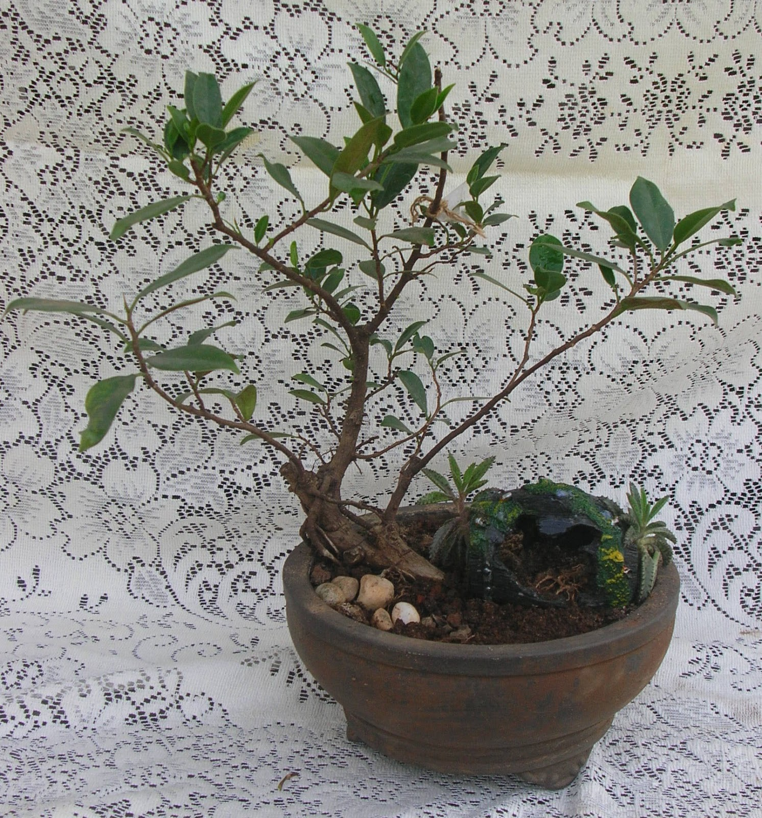 Bonsai Plants And Tree Green Ahmedabad