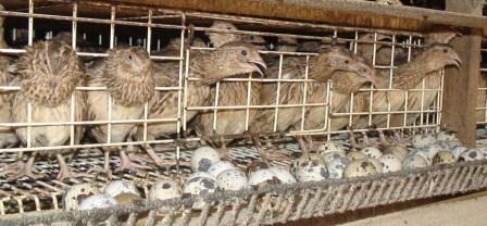 The cost vs profits of quail  Quail Cage Simple Plans