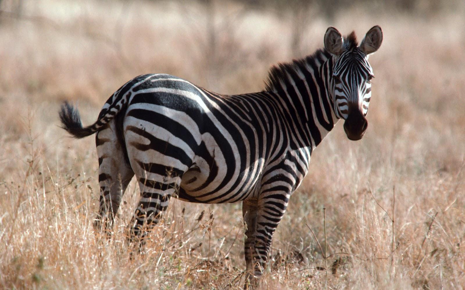Zebra | Beautiful Animal Facts & Photographs | WildLife Of ...