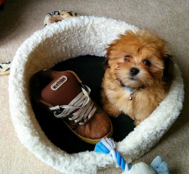 Cute dogs (50 pics), dog pictures, cute puppy in dog's bed with big shoe