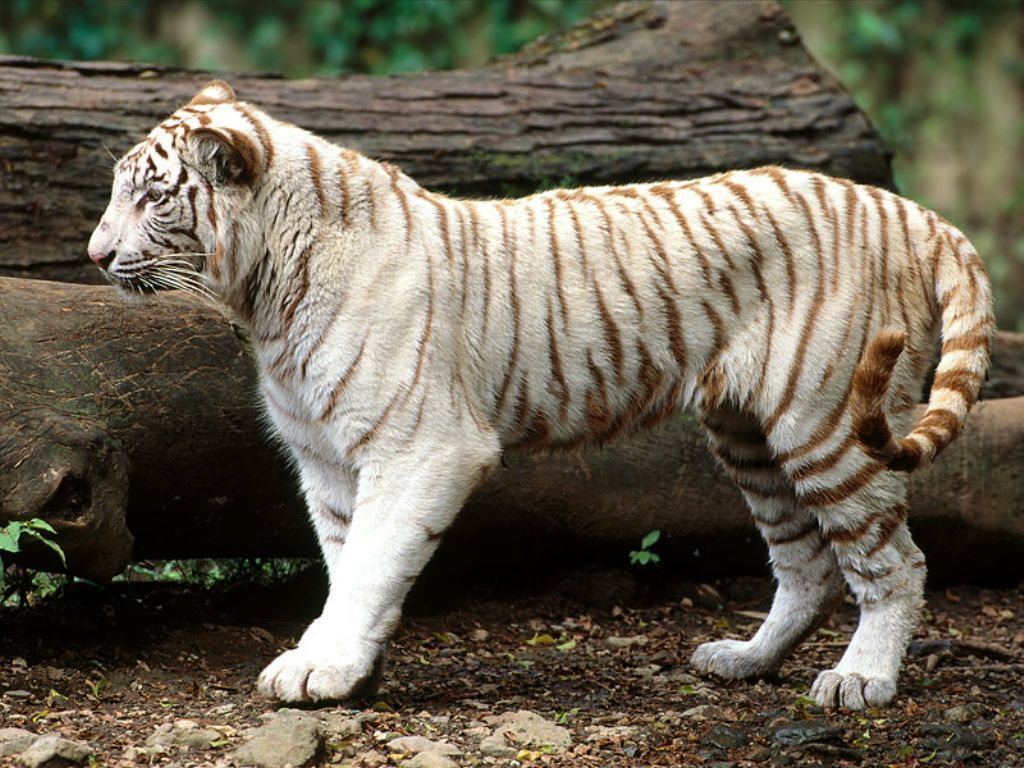 white tiger wallpapers desktop wallpapers Cute white tiger