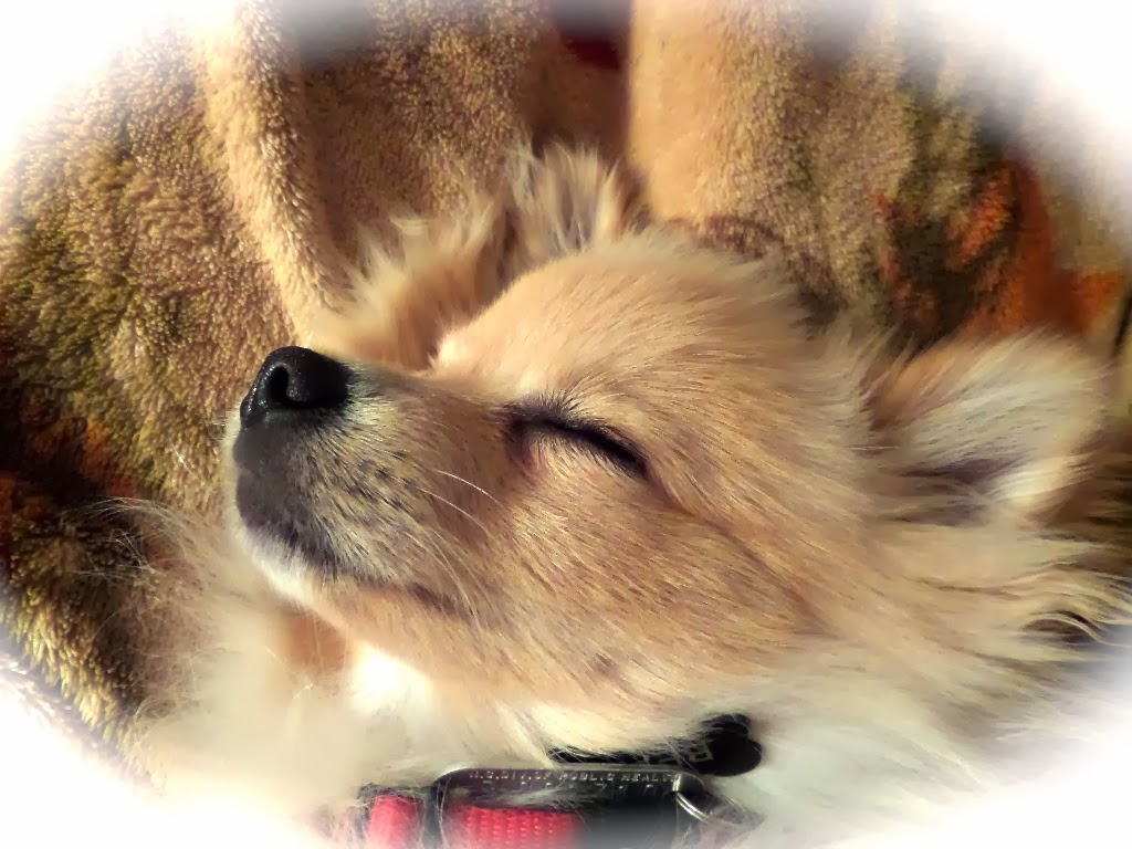 Beau, our adorable Pomeranian puppy