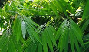 khasiat daun bambu untuk kesehatan
