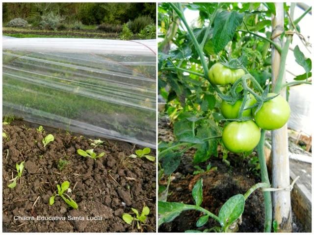 Plantines protegidos - tomates en el invernadero - Chacra Educativa Santa Lucía