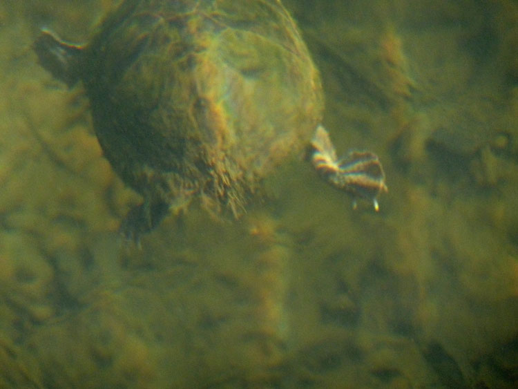 A Stinkpot turtle (Sternotherus odoratus) lumbering along near the bottom of crystal clear Greenbo Lake in eastern Kentucky.