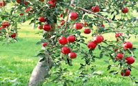 Beautifull Apple Tree