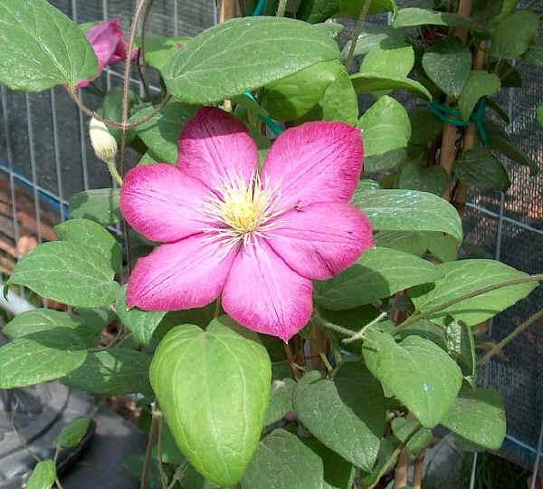 Piante e fiori clematide for Piante classificazioni inferiori successive