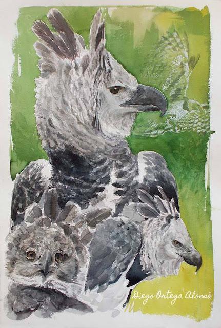 Diego Ortega Alonso, ilustración científica y de naturaleza. Estudio de Harpía. Acuarela sobre papel Arches. 38x57 cm. 2015.